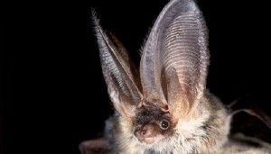 Long+Eared+Bat